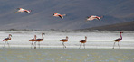 Rare James's flamingos (Phoenicopterus jamesi) - Thought to be extinct fifty years ago. They survived at remote salt lakes of Altiplano where they winter at hot springs lagoons while surrounding air temperature can drop to -30°C. Salar de Surire Natural Monument, UNESCO World Biosphere Reserve, Altiplano, Chile