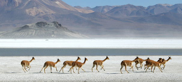 Herd of vicunas at Salar Surire - Fauna rich high altitude salt flats surounded by extinct volcanoes - altitude 4,245m a.s.l., Salar de Surire Natural Monument, UNESCO World Biosphere Reserve, Altiplano, Chile