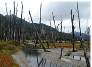 Benito Valley - Dead forest of the flood plains of Benito River, Aisen, Patagonia, Chile