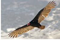 Turkey Vulture (El Jote) commonly spotted at Iquique paragliding zones, Chile