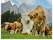 Curious grazers at Bovec valley in Triglav National Park
